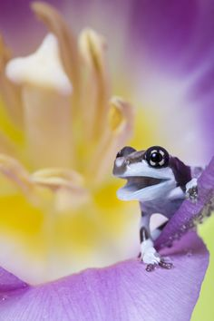 A Tiny Baby Milk Frog – Only in Size; by Angi Wallace A Tiny Baby Milk Frog – Only in Size; by Angi Wallace Funny Frogs, Cute Frogs, Beautiful Creatures, Animals Beautiful, Cute Animals, Mon Zoo, Fotografia Macro, Frog And Toad, Frog Frog