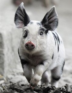 The Turopolje pig, is a breed named for Turopolje, Croatia, where it originates. This distinctive-looking swine, which has black spots on a white or grey skin with drooping ears, is very rare, and is likely nearing extinction. It is one of the older breeds of European pigs. Though they are relatively small and not fast growing, the breed is known for its hardiness under free range conditions. Once one of the most widespread swine in its native country.