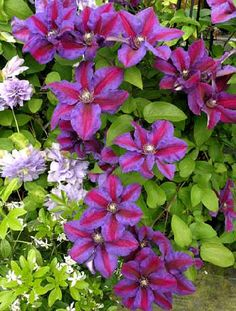 Clematis 'Mrs. N Thompson' - bought this at Lowe's of all places and planted it near the red 'Blaze' climbing rose. Can't wait to see that shock of violet and red as they flower together.