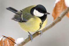 Kohlmeise im Winter - Foto: Frank Derer