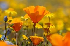 would love to mix wildflower seeds with grass seed for a more natural look.I think it would be pretty.especially if I let it grow a little higher along the edge of the property and around some trees California Wildflowers, Spring Wildflowers, California Poppy, California Coast, Puerto Rico, Lilies Of The Field, Wild Eyes, Eye Photography, Photography Flowers