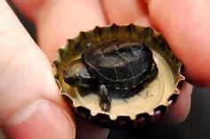 Крошечный черепашонок - A tiny turtle   крошечный [kròshychnyj] - tiny черепаха [chiripàkha] - turtle, tortoise SOUND: www.ruspeach.com/news/6922/