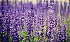 Some herbs are perennials that you can plant once and harvest for years. Here are some of the tastiest and most useful perennial herbs. Growing Lavender, Lavender Flowers, Purple Flowers, French Lavender, Lavender Oil, Provence Lavender, Flora Flowers, Edible Flowers, Summer Flowers