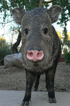 Closeup of young javalina at Canyon Ranch, Tucson, Arizona by Precious Dream