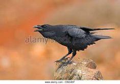 Bildresultat för corvus corax