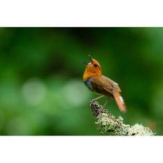 【kancam.jp】さんのInstagramをピンしています。 《全身全霊 コマドリ編 こないだのミソッチョに続きということで。長野県にて。 Whole body and soul. Chirping of birds cry of life. Not just cute. Not just beautiful. I will respect their birds. 鳥さんのさえずりって、きれいなだけじゃなくて、生命の叫びなんですよね。私は彼らに畏敬の念を抱きつつ接しているのです ✨✨✨ . #birder  #bird_watchers_daily  #birdstagram  #バードウォッチング  #コマドリ  #japan_daytime_view  #lovers_nippon  #kings_birds  #eye_spy_birds  #鳥さん  #野鳥倶楽部  #野鳥の会  #鳥撮り部  #大自然  #心  #森林  #森林浴  #ig_birds  #鳥  #写真好き  #birding  #birdphotography  #birdwatching…