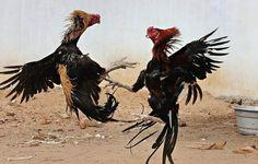 SOLUSI MENGHINDARI RESIKO DALAM BERMAIN SABUNG AYAM  Sejauh ini, adu ayam perjudian cukup bnyk bertarung dilanda razia. Hal itu bisa terjadi karena bisa memberi