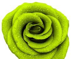 Groene roos