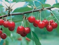 North Star Pie Cherry - A heavy producer. Start picking full-size cherry clusters in mid-June for all your recipes. The number of deliciously tart cherries from just one tree (just a few years after planting) will amaze and delight you. Hardy, disease resistant and sturdy, this vase-shaped powerhouse tree does not disappoint.