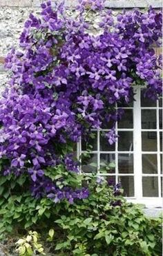clematis.  I have just THE place for this.