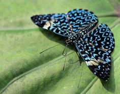 brush-footed butterfly of the rainforest