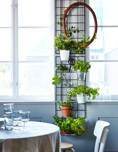 Two wire trellises are mounted between two windows and hold pottend plants and herbs, an oval frame and a pair of garden scissors.