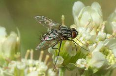 Tachinid Fly (Prosenoides assimilis) Insects, Park, Nature, Animals, Animales, Animaux, Parks, Naturaleza, Animais