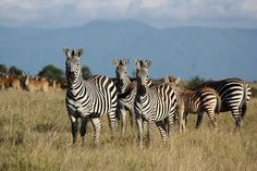 The plains zebra is found across east and southern Africa savannahs but continued population decline and threatens its survival. Learn what AWF is doing to protect this iconic species plus interesting zebra facts. Plains Zebra, Wildlife Conservation, African Animals, Zebras, Animal Kingdom, Habitats, South Africa, Fun Facts, Safari