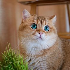 Hosico the Cat is One of the Most Beautiful Cats ❤❤❤❤❤❤ kitties!!!!!!