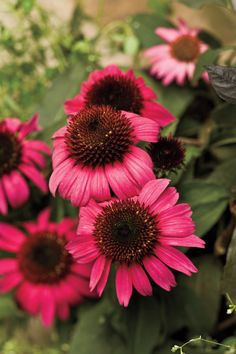 8 Great Plants You Gotta Grow: 'After Midnight' Coneflower