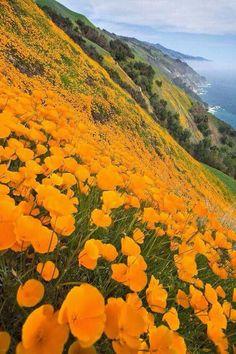 California Poppy, loved living n Mobtret! Big Sur, California North Coast, USA California Wild Flower Poppies by carter flynn Big Sur California, California Poppy, California Coast, Central California, Central Coast, Northern California, California Flowers, Santa Cruz California, Beautiful World