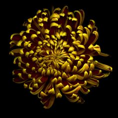 CHRYSANTHEMUM... GOLDEN SUN of AUTUMN... by Magda indigo All Flowers, Fresh Flowers, Beautiful Flowers, Chrysanthemum Flower, Golden Sun, Moon Garden, Floral Bouquets, Planting Flowers, Bloom