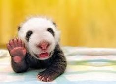 Baby Panda Wave Hi. (Via Animals Posing Like People) Fluffy Animals, Cute Baby Animals, Tiny Panda, Dog Clinic, Panda Bebe, Cute Bear, Baby Animal Videos, Cute Animal Pictures, Animal Quotes