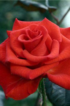 """Powerhouse My Bouquet Rose Bush - Disease Resistant - 4"""" Pot $9.99"""
