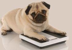 Co zrobić, gdy pies ma nadwagę?   http://www.kakadu.pl/Zdrowie-psow/co-zrobi-gdy-pies-ma-nadwag.html