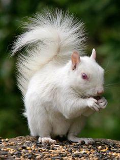 Home Of The White Squirrel | The Shadoxhurst Garden: Albino Grey Squirrel