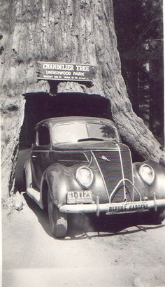 Chandelier Tree in 1941 ~ Drive through a redwood tree