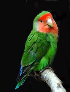 peach-faced-lovebirds - Google Search