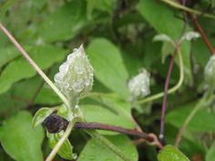 Dewdrops on a Clematis bud