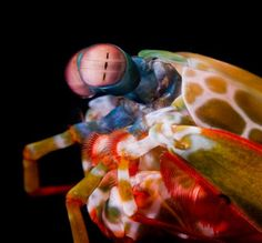 Mantis shrimp have the world's best eyes-Not only can they move independently of each other but they have 16 photoreceptors,humans have 3. They can see in the UV spectrum.They can perceive depth with one eye. Its imposable to imagine what they see,but fun to try. Also their punch with front claw = a 22 caliber bullet.