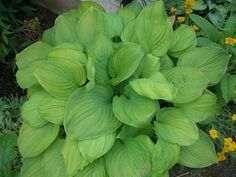 Hosta 'Guacamole' - 'Guacamole' forms a sturdy mound of foliage finished with lily-like blooms. It produces dusky-yellow leaves with a wide green margin, fragrant white flowers appear in late Summer.