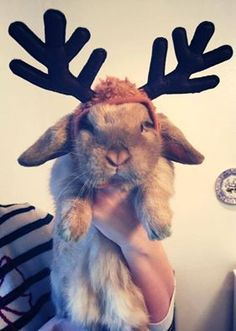 Rudolph the Bunny  //  >.<' poor thing