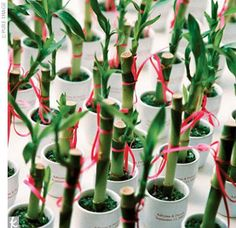 Love this for a wedding favor! Bamboo could totally be grown in a dorm room, just watch out because it grows fast! Use it to teach people about sustainability and why bamboo is better than other hardwood options.