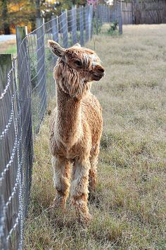 Baby Alpaca - Cute !