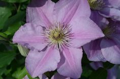 Clematis Endellion close up