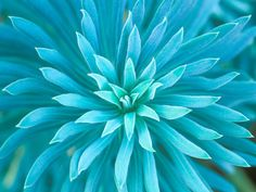 Euphorbia, Roche Harbor, Washington, USA Stretched Canvas Print