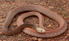 Coastal Taipan Snake ( Oxyuranus Scutellatus) a large highly venomous snake.An Australian elapid that ranges in an arc along the East coast of Australia from NE New South Wales through Queensland and across the northern parts of the Northern territory to Western Australia.