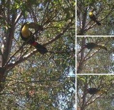 SIGHTING TOUCAN: 08/11/2016 - Alpine, California, CA, United States. Ref#: V25778 - #ParrotAlert #ParrotSighting #BirdSighting #ToucanSighting