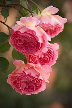 ❥ Pink Rose