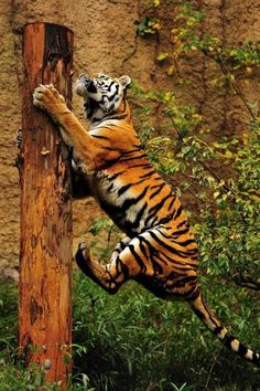 Tigre subiendo a arbol Vida Animal, Mundo Animal, Beautiful Cats, Animals Beautiful, Cute Animals, Big Cats, Cats And Kittens, Huge Cat, Gato Grande