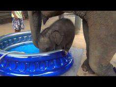 Mama Elephant Gives Baby Her First Bath, My Heart is MELTING!! --This should be an ad for that blow up pool...Impressive.