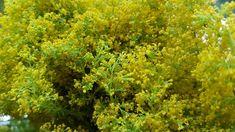 Stimulatorii naturali pentru dezvoltarea rădăcinilor plantelor. Salvați acest articol ca să nu-l pierdeți! - Floare de tei Salvia, Herbs, Mai, Plant, Herb, Spice