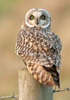 Short-Eared-Owl on fence post ✿⊱╮