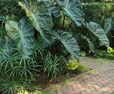 'Hilo Bay' Elephant's Ear