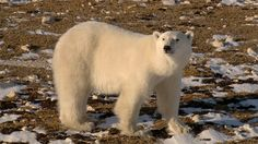 How a Canadian town is teaching Polar Bears to fear humans in order to save them – Video