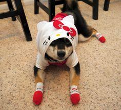 Hello Puppy! Sashimi is a 1 year old Shiba Inu #dog 柴犬「刺身」1歳