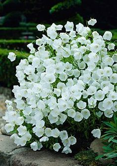 White Clips Bell Flower – gorgeous, their slight translucencyWhite Clips is the white version of the famous Blue Clips; they make a great display together. 8 to 12 inches tall. (Campanula carpatica Zones: 3, 4, 5, 6, 7, 8, 9 Plant Size: 8-10″ tall, Up to