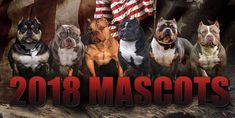 Sneak Preview: Issue No. 11 The 2018 Official BULLY KING Magazine Mascots @texassizebullies @ty_lumley @tushaylassiter @abpk_glenn @gymratpocketbullys BULLY KING Magazine | Your Source For The American Bully Breed App Available in iTunes App Store & Google Play The Bully Bible- On Sale Now www.bullykingmagazine.com  #americanbully