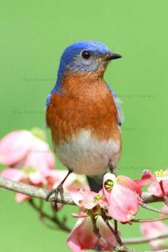 My favorite bird: Male Eastern Bluebird