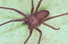Brown Recluse. One of the 10 deadliest Spiders